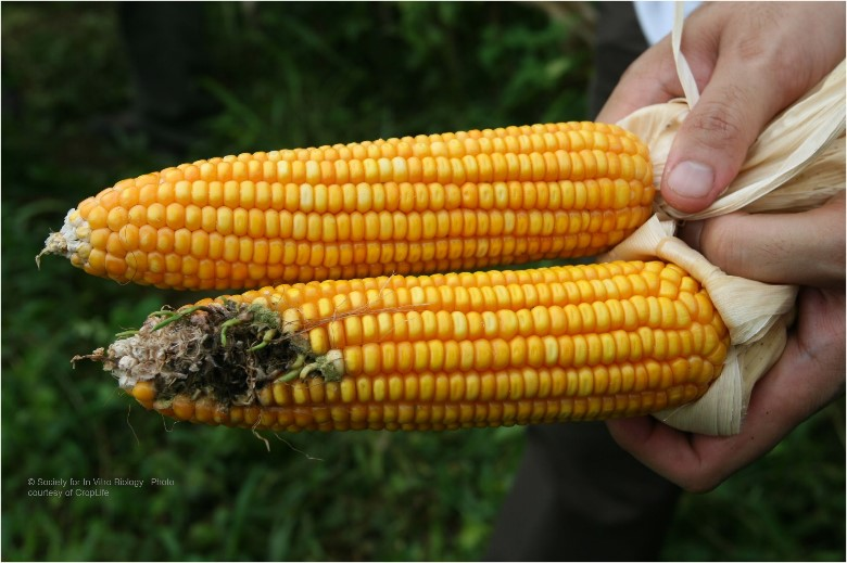 Bt corn vs conventional corn
