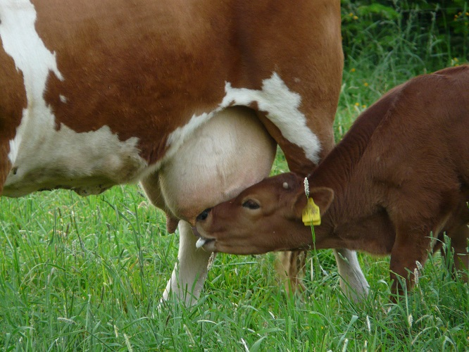 cow and calf feeding