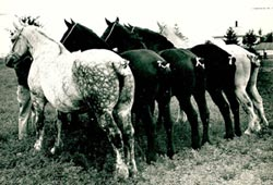 horses, black and white photo