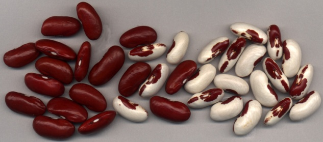 Red Kidney and Soldier Beans
