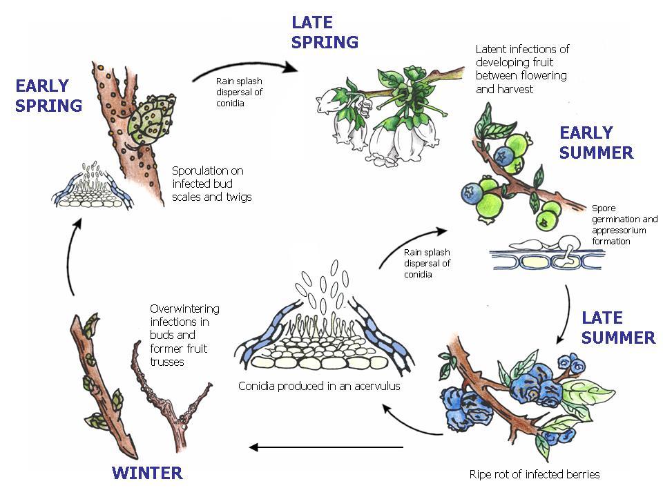 Life cycle of Colletotrichum acutatum
