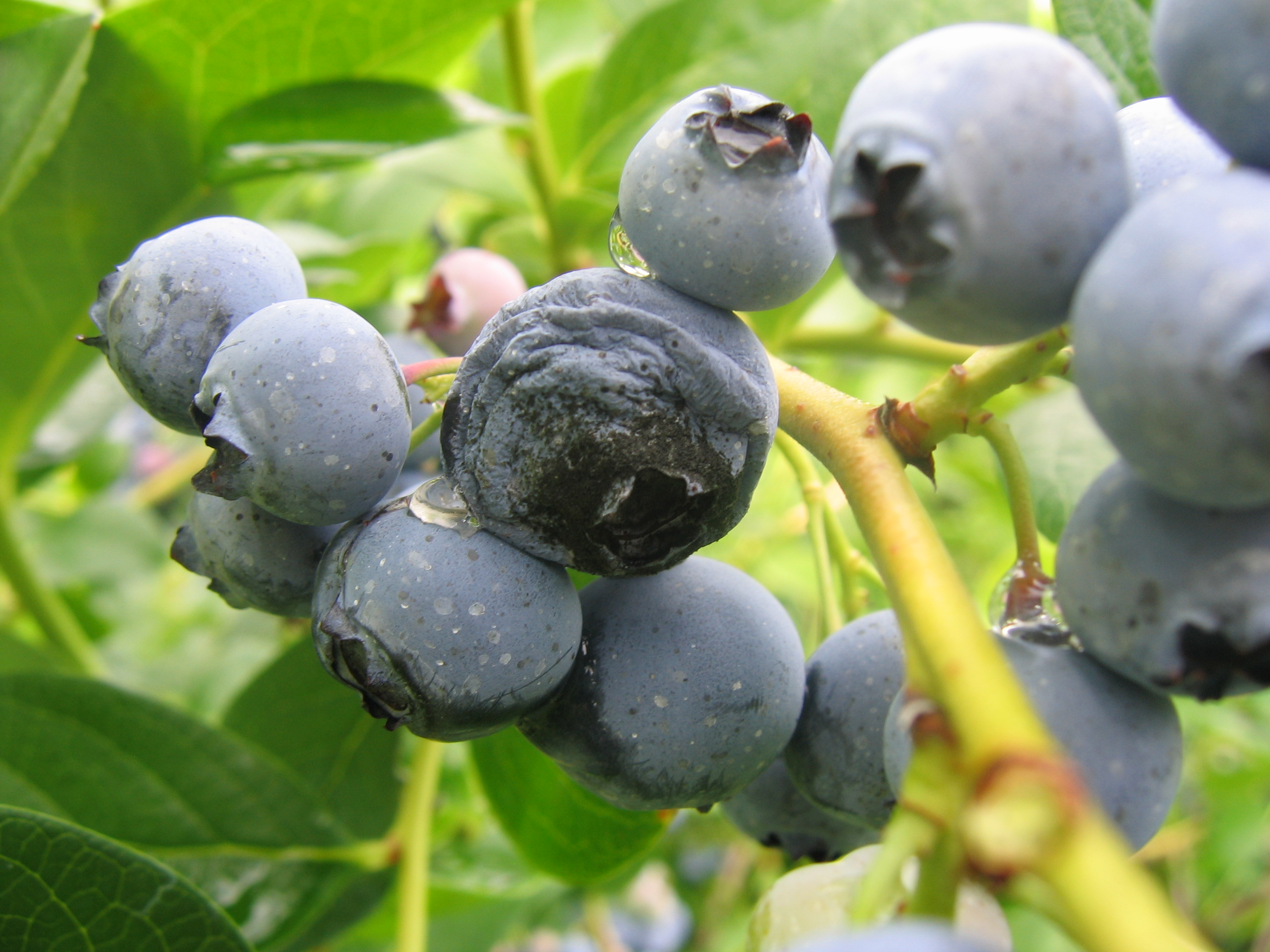 Anthracnose fruit rot