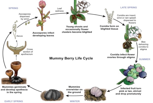 Mummy berry life cycle
