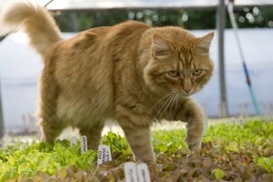 Risks posed by cats on produce farms