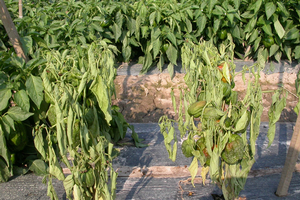 Wilting of pepper plants infected with Phytophthora crown and root rot.
