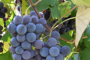 The history of Michigan's wine and grape industry – Part 2