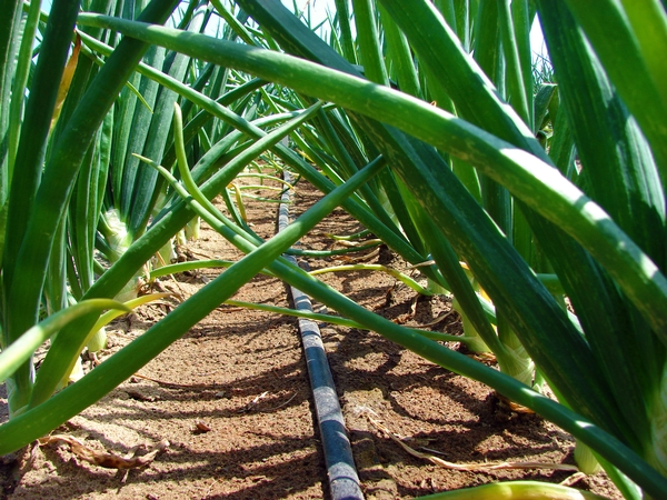 Onions being drip-irrigated using drip tape.