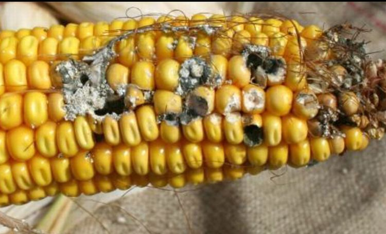 Kernel damage and ear rot on non-Bt corn. Damage along the side of the ear is characteristic of western bean cutworm feeding. Photo: Chris DiFonzo, MSU.