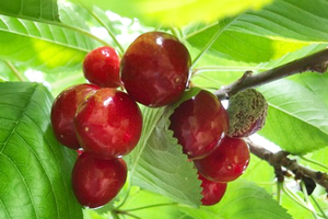Northwest Michigan fruit update – July 9, 2019