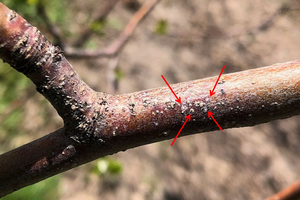 Grand Rapids area tree fruit update – May 7, 2019