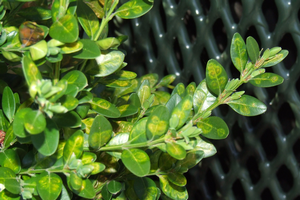 Boxwood leafminer: A serious pest of a favorite landscape plant