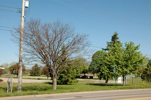 Zelkova trees (left) were among these hardest hit by severe cold this winter.