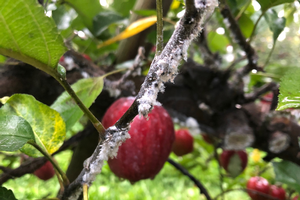 Grand Rapids area apple maturity report – Oct. 10, 2018