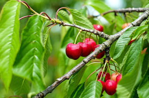 Low cost spray program for tart cherry diseases