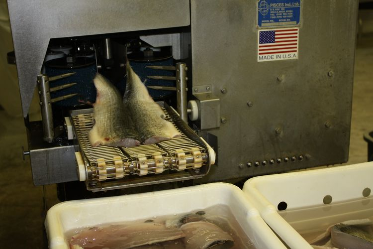 Lake whitefish fillets exit an automated filleting machine. A certification course in safe fish processing will be held in December 2015 in the Upper Peninsula. Photo: Ron Kinnunen | Michigan Sea Grant