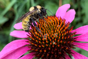 Join Queen Quest to search for overwintering bumble bees