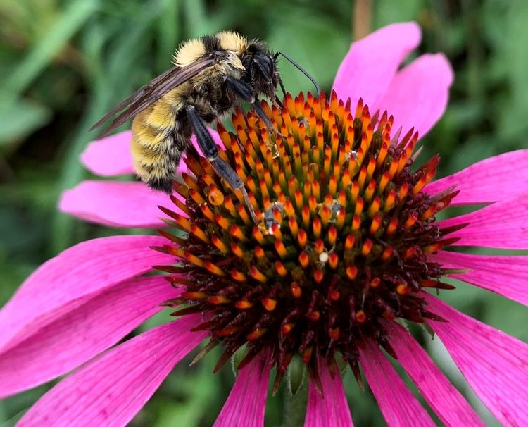 A bumble bee queen foraging on purple coneflower