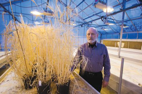 Russ Freed with Spartan barley in the greenhouse.