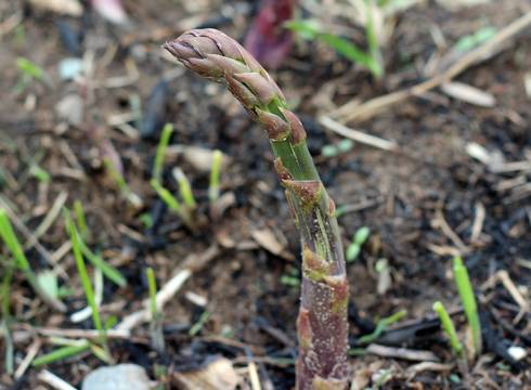 Asparagus is emerging in Central Michigan. Photo credit: Fred Springborn, MSU Extension