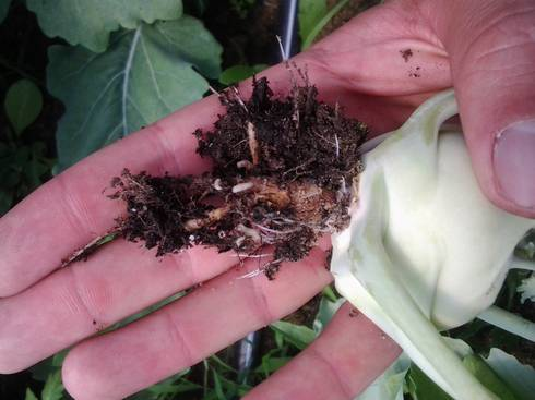 Cabbage maggots feeding on the roots of kohlrabi. Photo: Ben Philips, MSU Extension.