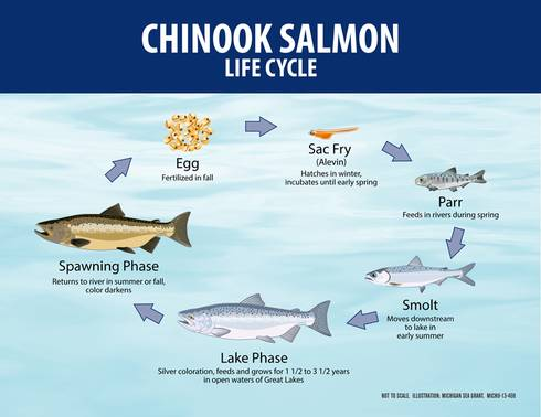 The life cycle of Chinook salmon in the Great Lakes doesn't quite meet the definition of anadromous because Great Lakes salmon spend their entire life in freshwater. Todd Marsee | Michigan Sea Grant