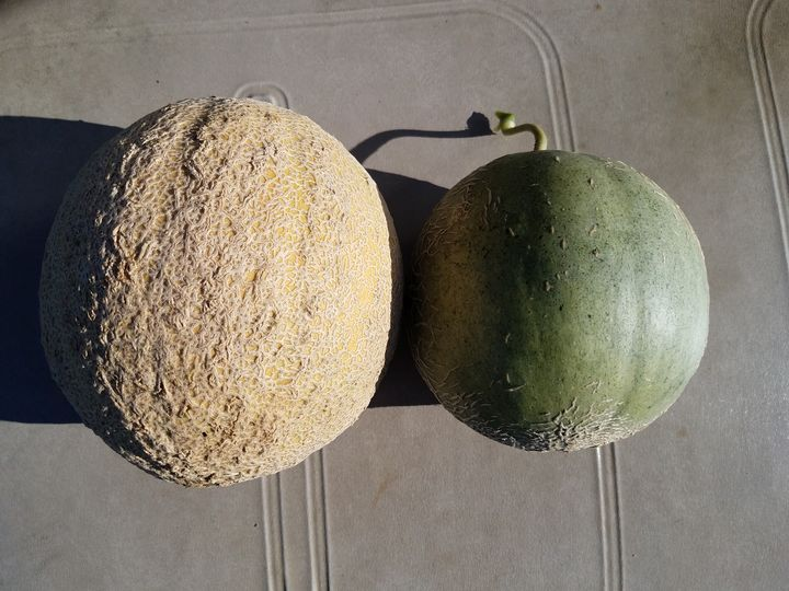 Cantaloupe with and without netting