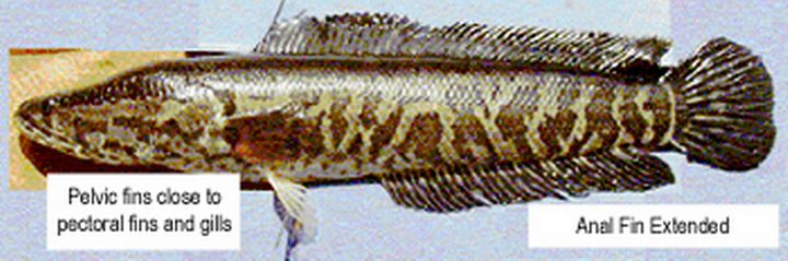 Northern snakehead fish. Photo credit: Michigan Department of Natural Resources