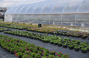 Holding greenhouse crops – When temperature and PGRs don't suffice