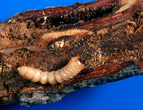 Larva is a fleshy, cream-colored, legless grub with a dark brown head and blackish mandibles. The first thoracic segment is broader than the rest of the body.