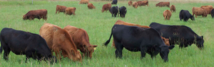 Beef cows grazing in a field