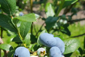 Southwest Michigan fruit update - July 10, 2018