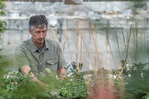 MSU receives USDA grant for potato breeding and genetics program