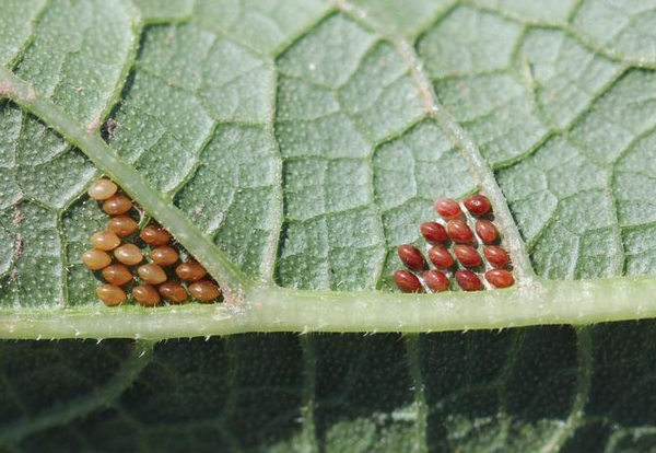 Two clusters of squash bug eggs