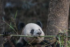 Pandas set their own pace, tracking reveals