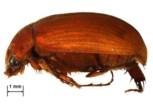 Asiatic garden beetle, Maladera castanea (Arrow). Photo: Purdue University.