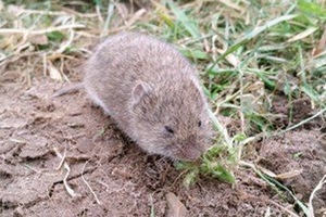 Photo of first page of Voles article.