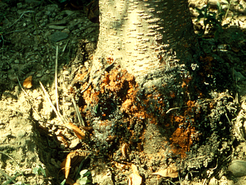 Areas attacked often have masses of gum mixed with frass exuding from the bark.