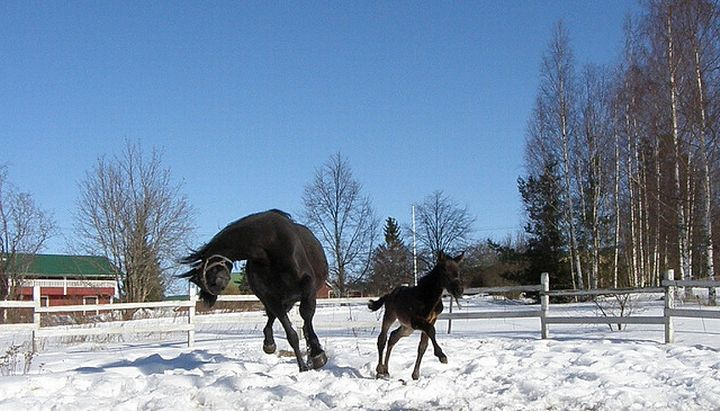 Horses playing in the Snow.