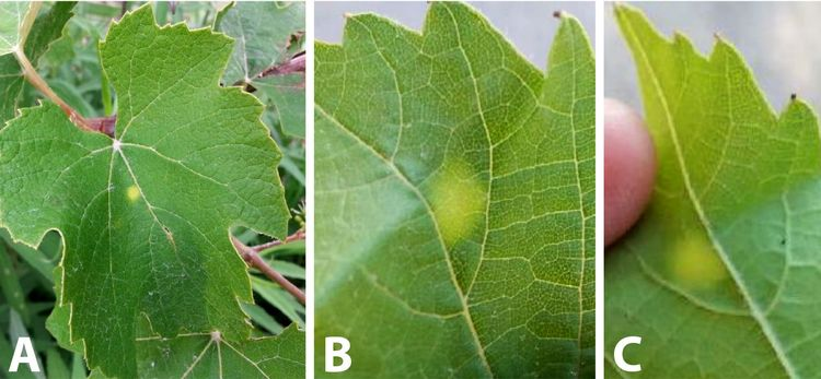 Mysterious Yellow Spots On Grape Leaves Are Not Downy Mildew Msu Extension