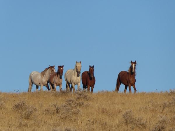 Adopting a wild horse or burro - Horses