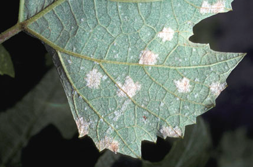 White spore masses on the lower surface of the leaf.