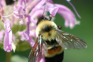 What makes a pollinator rare or endangered?