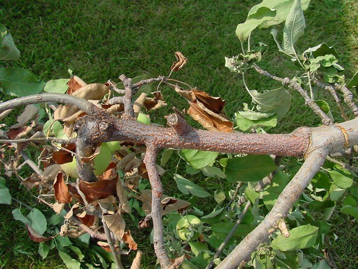 Nectria blight on apple limb