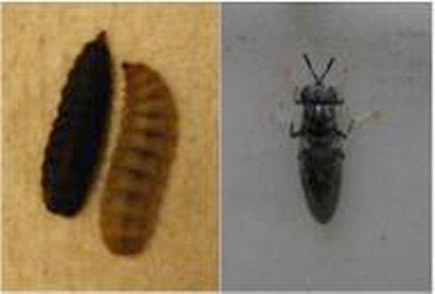 Larval and adult black soldier fly.
