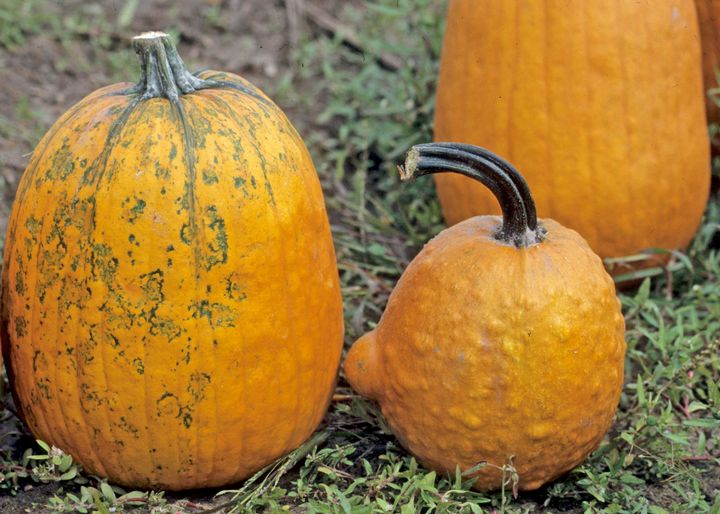 These pumpkins' discoloration and bumps are likely the result of infection by one of numerous viruses. Photo: Gerald Holmes, California Polytechnic State University at San Luis Obispo, Bugwood.org