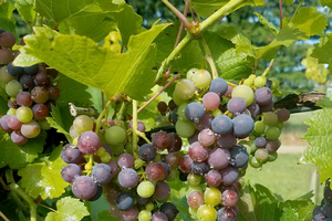 Southwest Michigan fruit update – Aug. 6, 2019