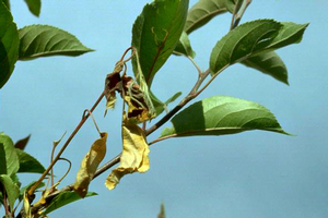 Fire blight reported in landscape crabapples