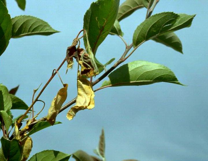Fire Blight Reported In Landscape Crabapples Msu Extension