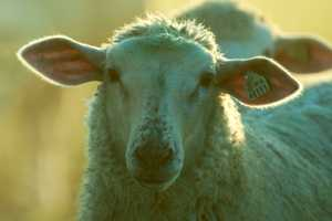Polioencephalomalacia - Sheep & Goats