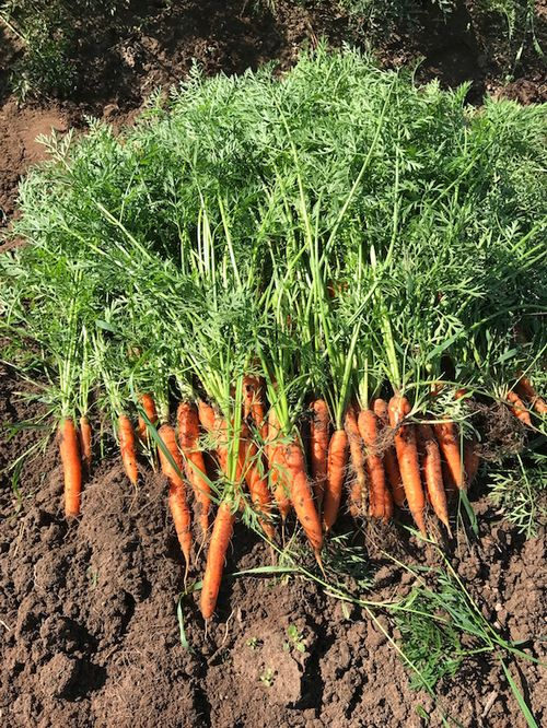 Nicely sized Nantes-type carrots | Photo by Collin Thompson, MSU Extension Educator